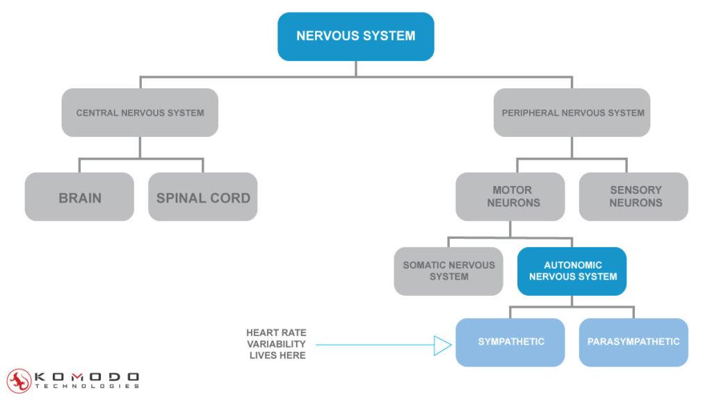 autonomic-nervous-system-HRV